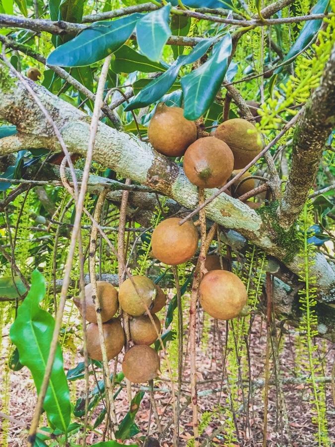 Noan Macadamia Farm junger Baum