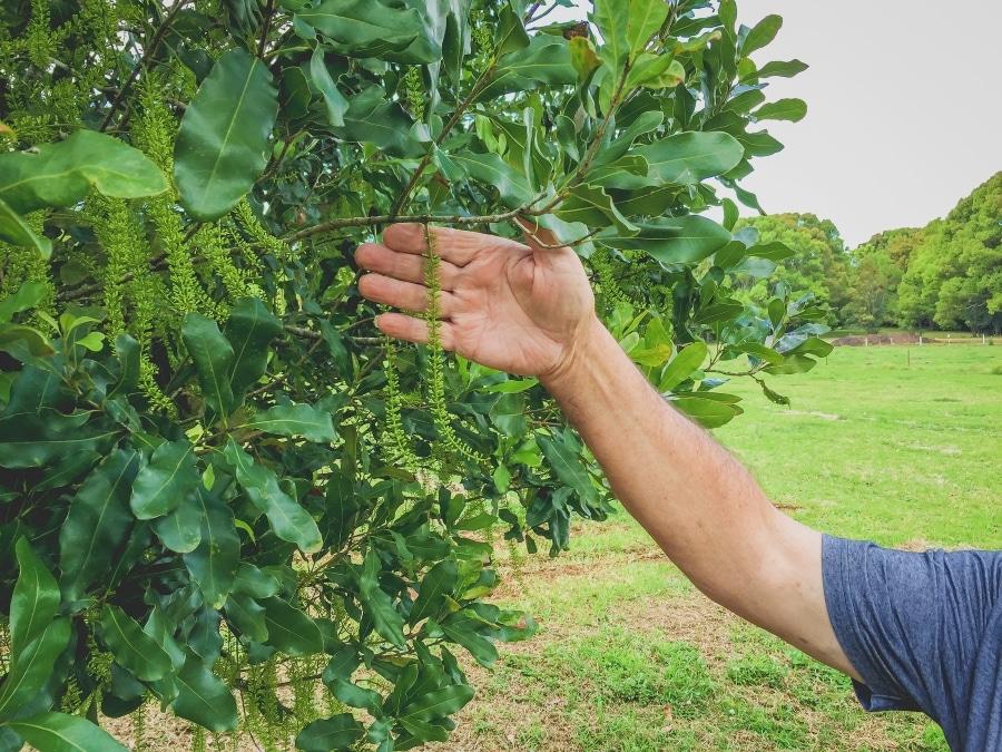 Noan Macadamia Farm Blüte