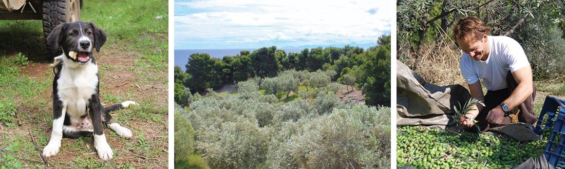 Olivenöl Ernte
