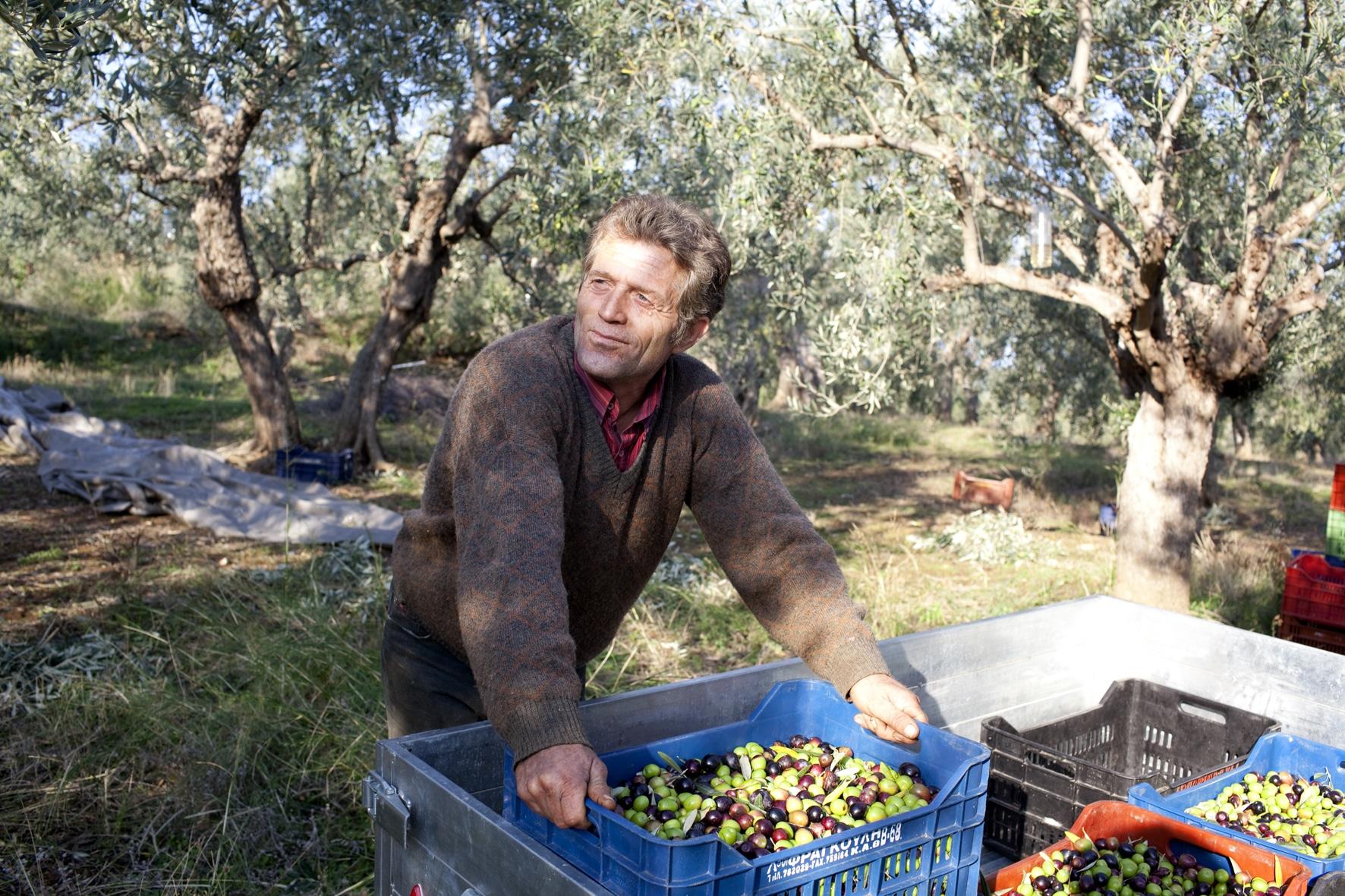 Olivenbauer bei der Ernte