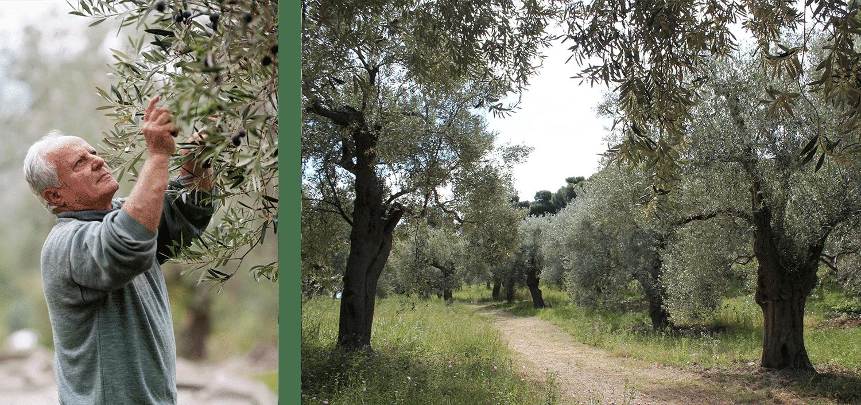 olivenbauer ernte