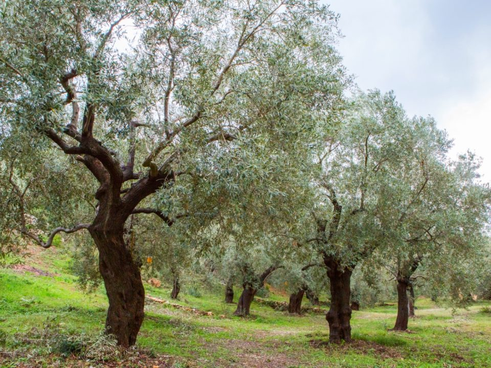 Noan Olivenöl Olivenbaum Florence Stoiber