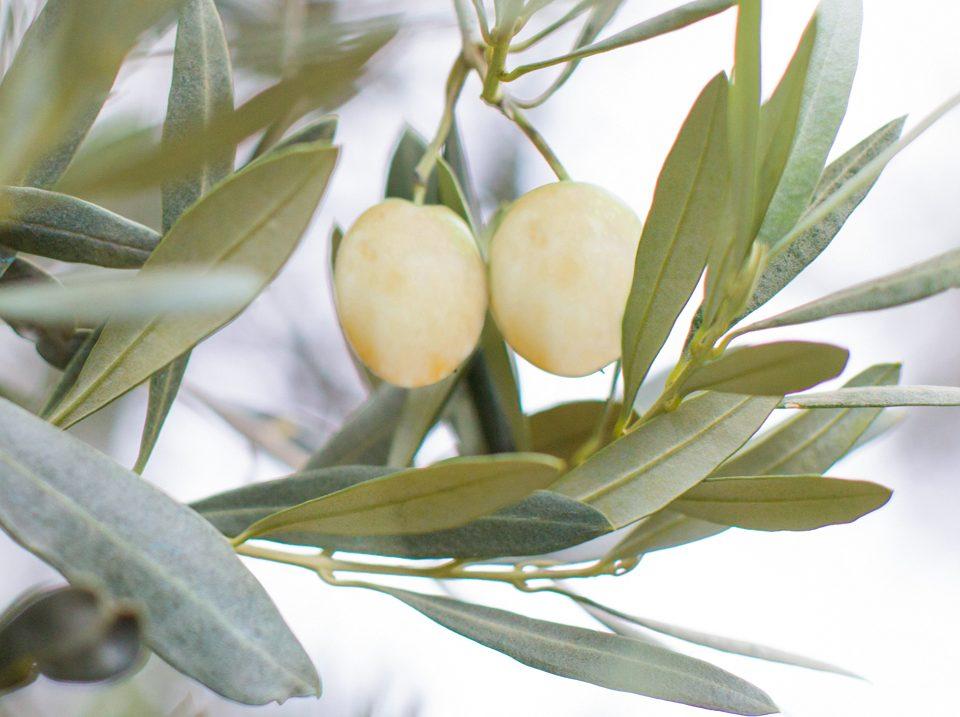 Macalive - Kreuzung aus Olive & Macadamia