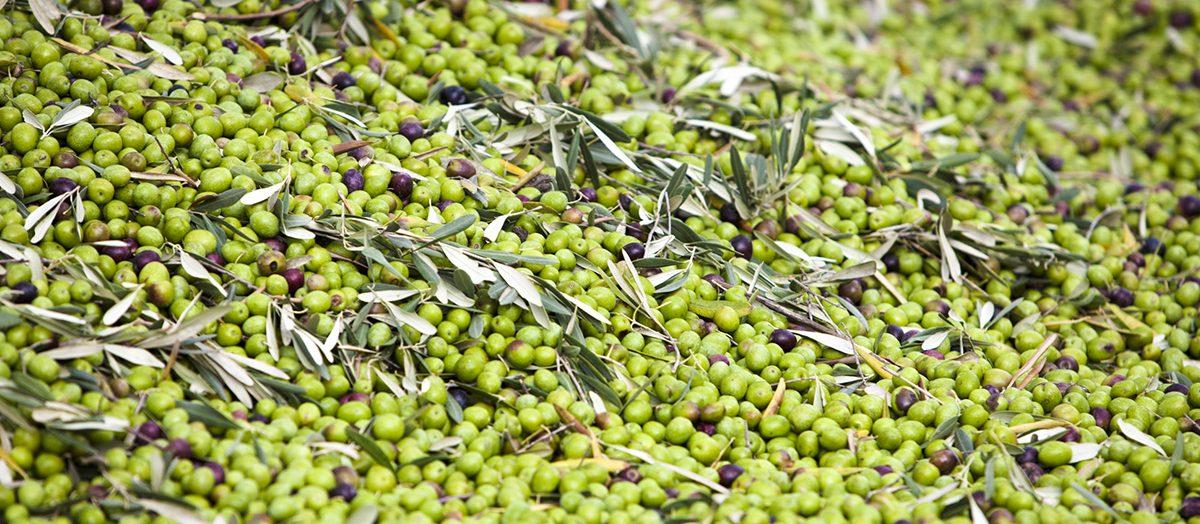 Olivenöl: Frische Ernte