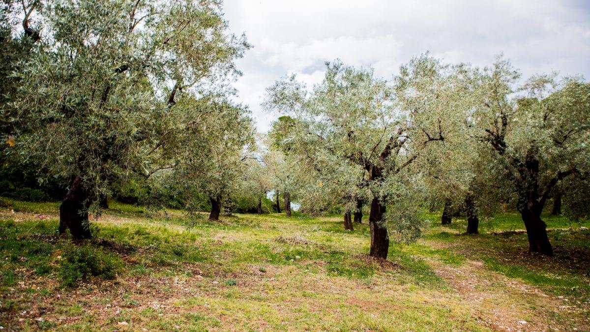 Olivenölbaum